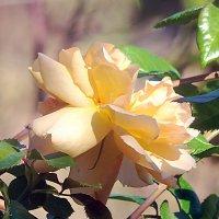 Чайная роза. :: Наталья