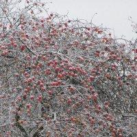 Яблоки в снегу :: Mariya laimite
