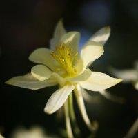 Дачный цветок :: Екатерина Короткова