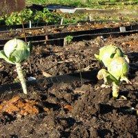 В огороде пусто, выросла капуста) :: veera (veerra)