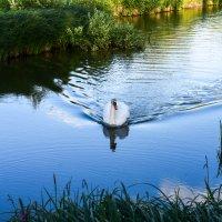Одинокий лебедь. :: ALLA Melnik