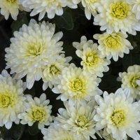 Цветы запоздалые :: Александр Грищенко