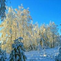 Зимние березки :: Александр Преображенский