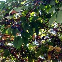 Очень дикий виноградик :: Нина Корешкова