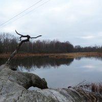 мореный дуб над серой водой :: Александр Прокудин