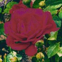 роза роза :: Ольга Сафонова