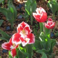 Красно-белые цветы :: Дмитрий Никитин