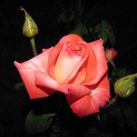 Роза :: Александр Марусов