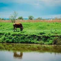 Корова отбившаяся от стада :: Дмитрий Мороз