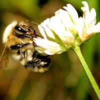 пчелка :: Алексей Солодков