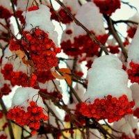 В белые папахи нарядились гроздья рябин :: Сергей Чиняев