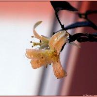 Цветок мурайи :: Андрей Заломленков