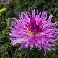Осенние цветы - души очарованье, В них – радость и печаль, и осени дыханье. :: Андрей Нибылица