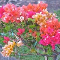 Бугенвилия - тайский цветок :: Елена Сустина