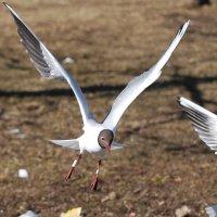 дважды окольцованная :: linnud