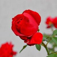 Царица цветов :: Виктор Шандыбин