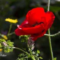 Маковый цвет :: Nikolay Volkov