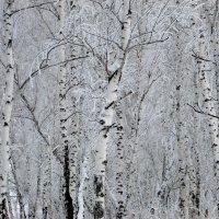 Светло в России от берёз,светло от снега белого... :: nadyasilyuk Вознюк