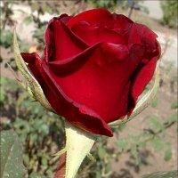 Полураскрытая роза :: Нина Корешкова