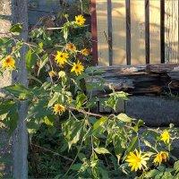 Деревенские цветы а октябре :: Фотогруппа Весна.