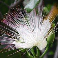 Баррингтония-цветок одной ночи :: Антонина