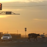 Даже коровы умеют переходить дорогу по правилам! :: Светлана Попова