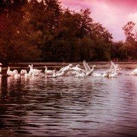 Гуси-лебеди :: Евгения Копылова