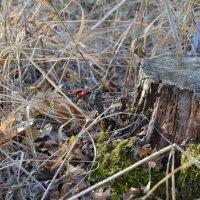 Лесной пень :: Мария Букина