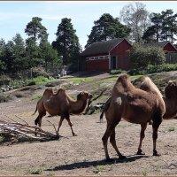Верблюды в зоопарке Коркеасаари :: Вера