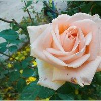 роза в декабре. :: Юрий Владимирович