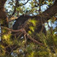 Мишка на дереве :: svabboy photo