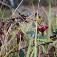 Последние ягоды :: Julia Rietveld