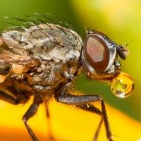 муха с росинкой :: Viktor Schwindt