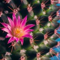 Колючий цветок. :: Юрий Харченко