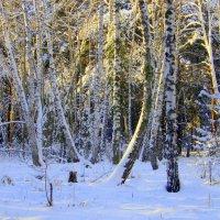 Берёзовый уголок в лесу . Утро . :: Мила Бовкун