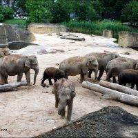 Стадо азиатских слонов. :: Anna Gornostayeva