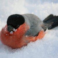 Купание снегиря в снегу :: Виктор Колмогоров