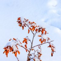 Шипы и снег :: Анатолий Иргл