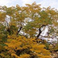 Чувствует осень Мелия иранская :: Герович Лилия