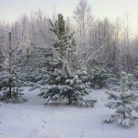 Водят елочки-сосеночки снежный хоровод :: Павлова Татьяна Павлова