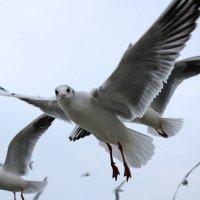 Чайка по имени Джонатан Ливингстон.. :: Elena N