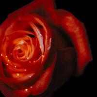 белая роза :: Алёна Петрова