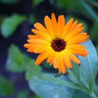 цветок :: Николай Холопов