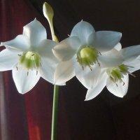 Зимняя радость (амазонская лилия) :: Татьяна Юрасова