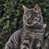 Дворянин-«Кошки очарование мое!» :: Shmual Hava Retro