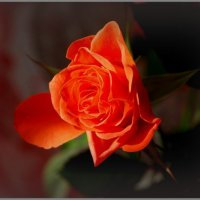Роза :: Вера (makivera)