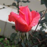 Роза :: Jana Sheremet