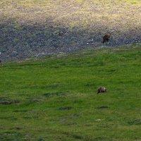 Три медведя. :: Юрий Харченко