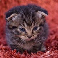 Котёнок :: Виолетта