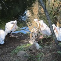 В зоопарке пеликаны :: Дмитрий Никитин